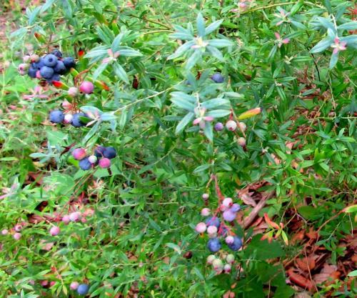 Bird Island Butterfly Garden Florida Blueberries
