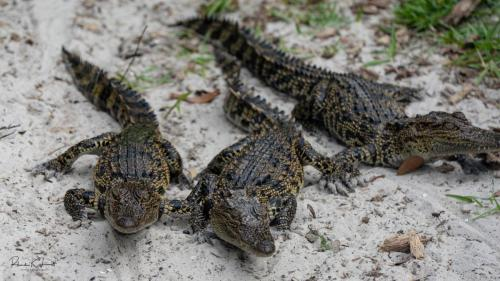 Alligator Farm Cuties RKL